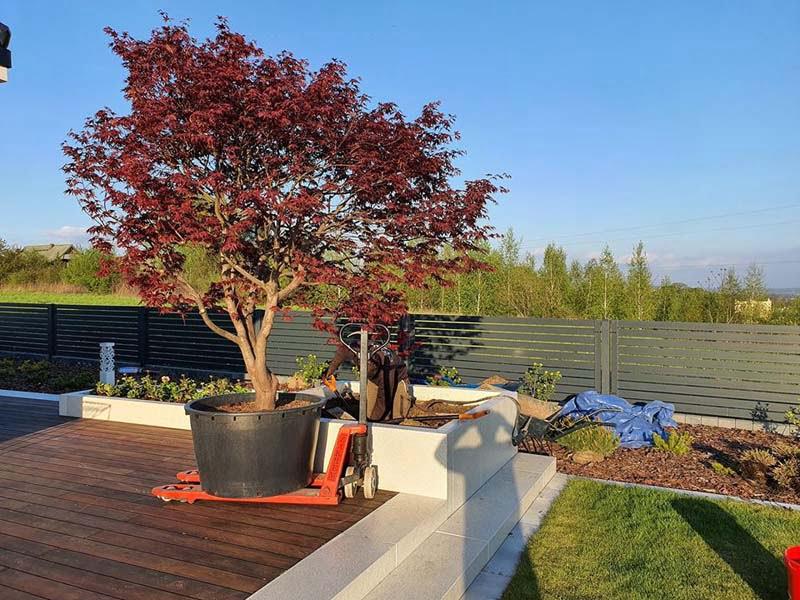 Drzewo na tarasie – sadzenie Klonu