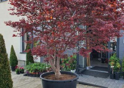 sadzenie drzewa na tarasie (3)