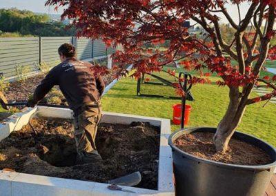sadzenie dorosłego drzewa