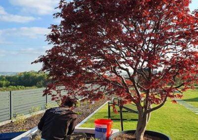 sadzenie drzewa na tarasie Rzeszów